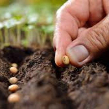 semeando