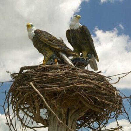 aguia-ninho
