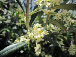 oliveiraemflor